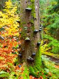 Polypores mushrooms on a tree trunk in colorful autumn primeval forest Stock Photos
