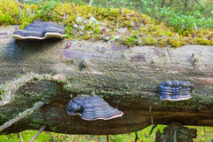 Polypores Stock Photography