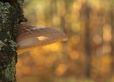 Polypores que crece en un árbol en Polonia, otoño Imagen de archivo libre de regalías