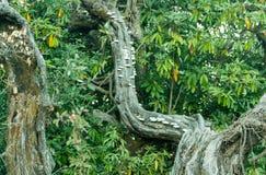 Polypores un il gruppo di funghi in foresta temperata della montagna dell'Himalaya in Uttrakhand India Immagini Stock Libere da Diritti