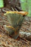 polyporus гриба стоковые изображения rf