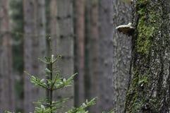 Polyporus на дереве Стоковое Изображение