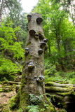 Polyporus Growth on a Tree Stock Images