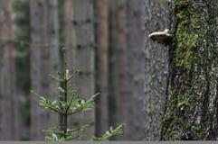 Polyporus op een boom Royalty-vrije Stock Foto's