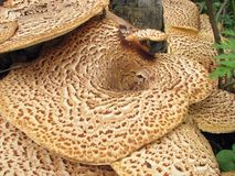 Polyporus squamosus Stock Images