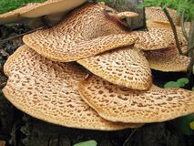 Polyporus squamosus Stock Photos