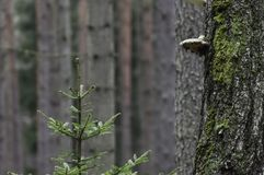 Polyporus on a tree Stock Image
