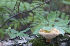 Polyporus tuberaster Royalty Free Stock Image