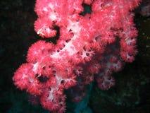 Polyps coralinos suaves rojos Foto de archivo