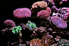 Polyps & Corals. Purple Green Polyps and corals Royalty Free Stock Photography