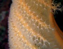 Polyps da pena de mar; macro Fotografia de Stock Royalty Free