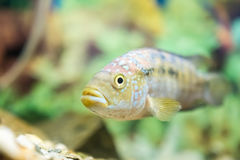 Polypterus Senegalus Royalty Free Stock Image