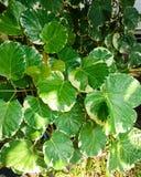 Polyscias, ένας όμορφος της πράσινης σύστασης φύλλων στοκ φωτογραφία με δικαίωμα ελεύθερης χρήσης