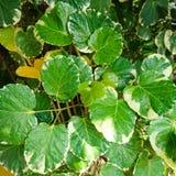 Polyscias, ένας όμορφος της πράσινης σύστασης φύλλων στοκ φωτογραφία
