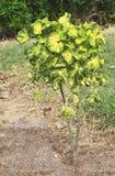 Polyscias. In a tropical garden Stock Image