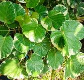 Polyscias, ein schönes der grünen Blattbeschaffenheit Stockfoto