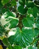 Polyscias, ein schönes der grünen Blattbeschaffenheit Stockbild