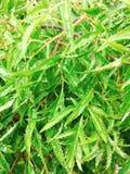 Polyscias fruticosa or Ming aralia leaves.  Stock Photo
