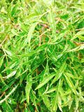 Polyscias fruticosa or Ming aralia leaves.  Stock Image