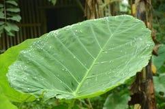 Polyscias-Scutellaria Stockfotografie