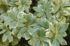 Polyscias växtbakgrund Arkivbilder