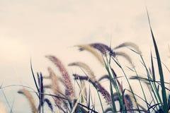 Polystachyon Schult del Pennisetum - fiorisca lo stile morbido d'annata del cielo e dell'erba immagine stock