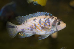 Polystigma fish royalty free stock images