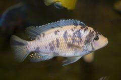 Polystigma fish Royalty Free Stock Images