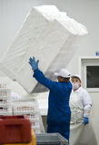Polystyrene boxes. A man carrying a pile of polystyrene boxes in which fish are going to be packed. Fish processing manufacture company series Stock Photo