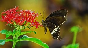 Polytes de Papilio, le mormon commun s'asseyant sur une fleur photos stock