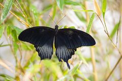 Polytes neri di Papilio della farfalla di coda di rondine, Mormone comune Fotografie Stock Libere da Diritti