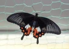 Polytes tropicais de Papilio da borboleta fotografia de stock royalty free