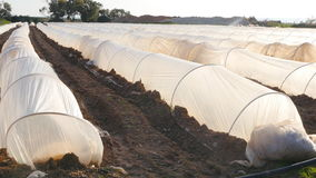 Polythene tunnel as a plastic greenhouse in an allotment with growing vegetables at sunset. stock video