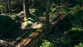 Polytrichaceaemos en de meevaller binnen stock video