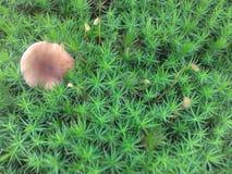 Polytrichastrum Formosum Royalty-vrije Stock Afbeeldingen