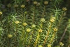 Polytrichnum commune at Torbreck Forest. Stock Image