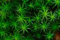 polytrichum коммуны Стоковая Фотография