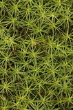 Polytrichum Royalty Free Stock Photos