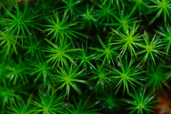 Polytrichum commune Stock Photography