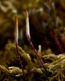 Polytrichum commune close up in the morning frost Stock Photography