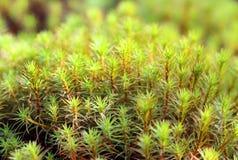 Polytrichum commune. Moss closeup on the Yamal Peninsula Stock Photos