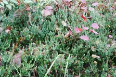 Polytrichum commune moss in the forest Royalty Free Stock Photos