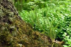 Polytrichum commune plant Stock Images