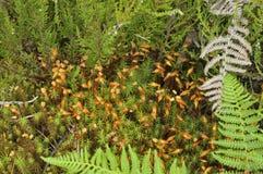 Polytrichum Moss Stock Photos