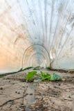 Polytunnel枯萎了植物 免版税库存照片