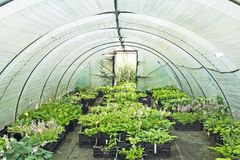 Polytunnel with plants. Plastic polytunnel with crates of hosta plants at nursery royalty free stock images