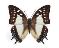 polyura eudamippus стоковые фотографии rf