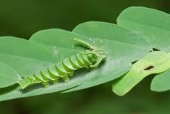 Polyura hebe plautus caterpillar Stock Image