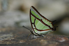 Polyura narcaea  / butterfly is drinking water Stock Photography