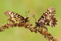 Polyxena de Zerynthia da borboleta Imagens de Stock